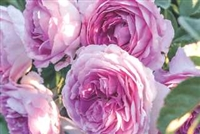 Cl Lavender Crush Climbing Rose