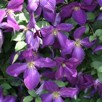 Clematis Purple Happy Jack
