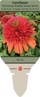 Coneflower Echinacea 'Double Scoop Orangeberry'