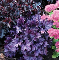 Coral Bells Heuchera 'Forever Purple'