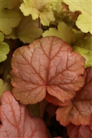 Coral Bells Heuchera 'Georgia Peach'