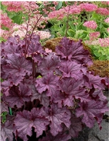 Coral Bells 'Grand Amethyst' Heuchera