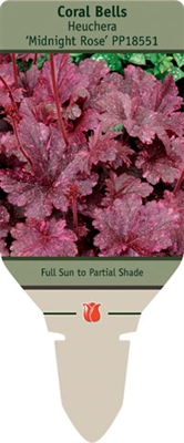 Coral Bells Heuchera 'Midnight Rose'