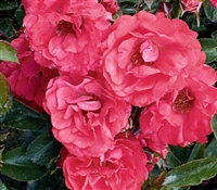 Shrub Rose The Coral Drift® Rose