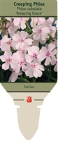Creeping Phlox subulata 'Amazing Grace'