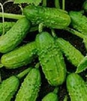 Cucumber for Pickling