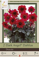 Dahlia Dark Angel 'Dracula'