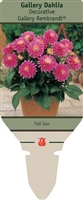 Dahlia Decorative 'Gallery Rembrandt'