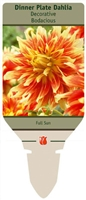 Dahlia Decorative Dinner Plate 'Bodacious'