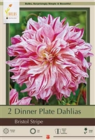 Dahlia Decorative Dinner Plate 'Bristol Stripe'