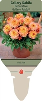 Dahlia Decorative 'Gallery Pablo'