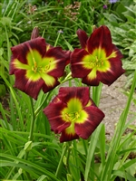 Daylily Hemerocallis Night Beacon
