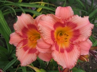 Daylily Hemerocallis Strawberry Candy
