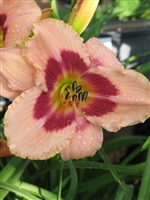 Daylily Hemerocallis Wineberry Candy