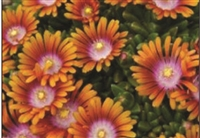 Ice Plant Delosperma Fire Spinner