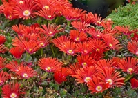 Delosperma Dyeri 'Red Mountain® Flame Ice'