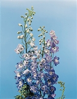 Delphinium Pacific Giants Blue Bird