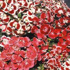 Sweet William 'Double Choice Mix