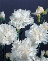 Hardy Carnation Grenadin White
