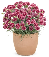 Dianthus Fruit Punch® 'Cherry Vanilla' Pinks hybrid