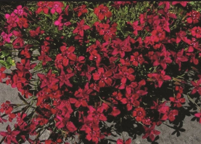 Dianthus Maiden Pinks Deltoides Flashing Light