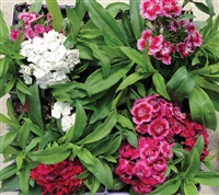 Dianthus Sweet Willliam Barbatus Dwarf Mix