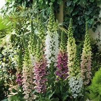 Digitalis purpurea Foxglove Candy Mountain Mix