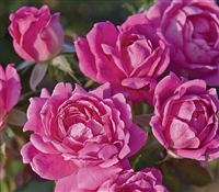 The Double Pink Knock Out Rose