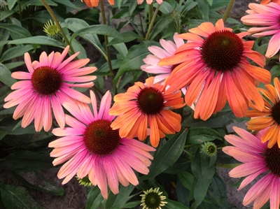 Coneflower Butterfly Rainbow Marcella