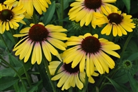 Coneflower Butterfly Yellow Rainbow Marcella