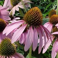 Coneflower purpurea Bright Star