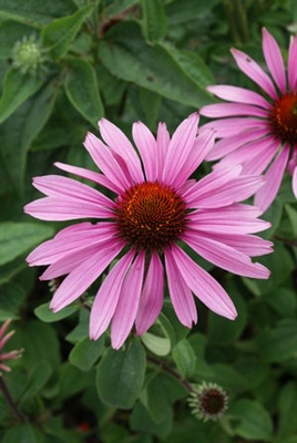 Echinacea Purple Coneflower Magnus