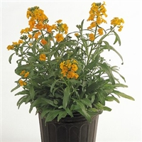 Erysimum Citrona Orange