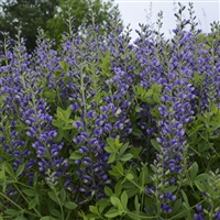 False Indigo Baptisia hybrid Decadence 'Blueberry Sundae'