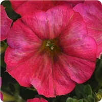 Petunia Flash Mob Magentacular
