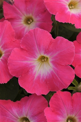 Petunia Flash Mob Pinkceptional