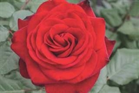 "Forever Yoursâ""¢ Hybrid Tea Rose"