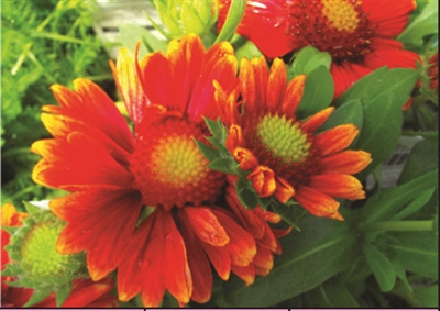 Gaillardia aristata Arizona Red Shades Blanket Flower
