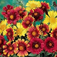 Gaillardia Monarch Mix