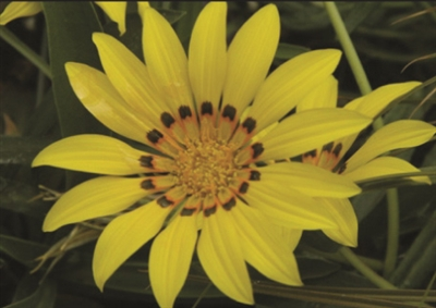 Gazania linearis Colorado Gold