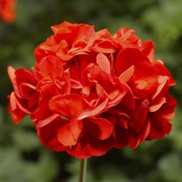 Geranium - Calliope® Series - Assorted Colors