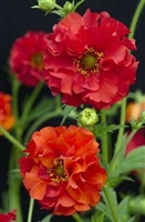 Geum flora-plena Blazing Sunset