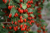 Goji Berry Sweet Lifeberry® Lycium barbarum