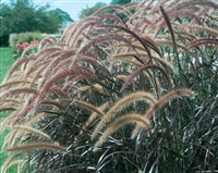 Purple Fountain Grass Graceful Grasses® setaceum 'Rubrum'