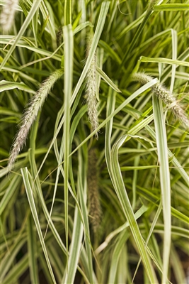 Graceful Grasses® 'Sky Rocket' Pennisetum