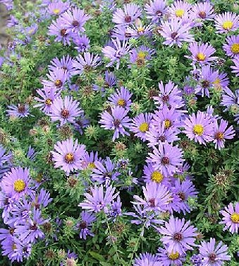 Hardy Aster Lavender Blue