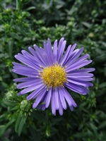 Hardy Aster Woods Light Blue
