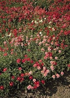 Helianthemum mutabile Sun Rose Mix