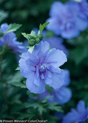 Rose of Sharon Hibiscus syriacus Blue Chiffon&#0153