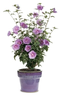 Rose of Sharon Hibiscus syriacus Lavender Chiffon&#0153